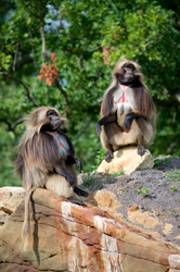 Gelada baboons at Bristol Zoo's Wild Place.